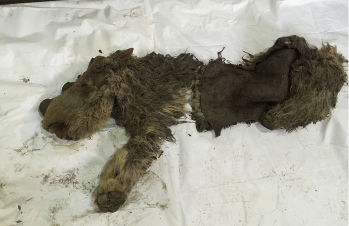 Hunters Discover Frozen Baby Woolly Rhino Remains in Siberia
