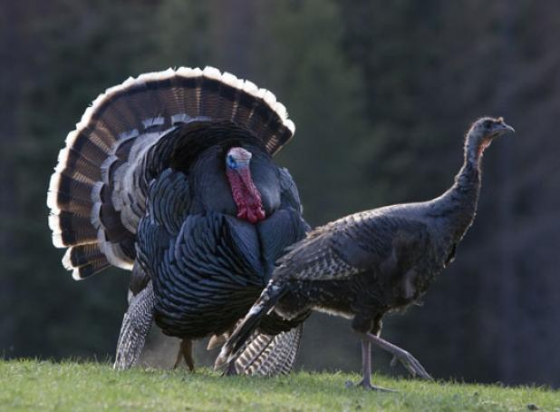 Late Season Turkey Tip: Tag The Tom That's All Show and No Fight