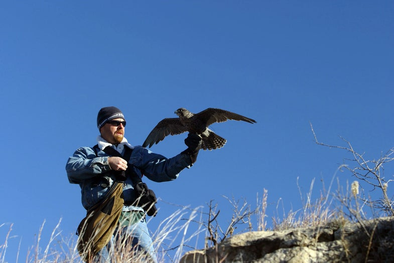 Falconry 101: An Introduction To The Basics and History of the Sport