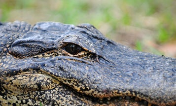 Burglar Killed by Alligator While Hiding From Police in Lake