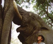DVD Review: 'The Essence of Elephant Hunting'