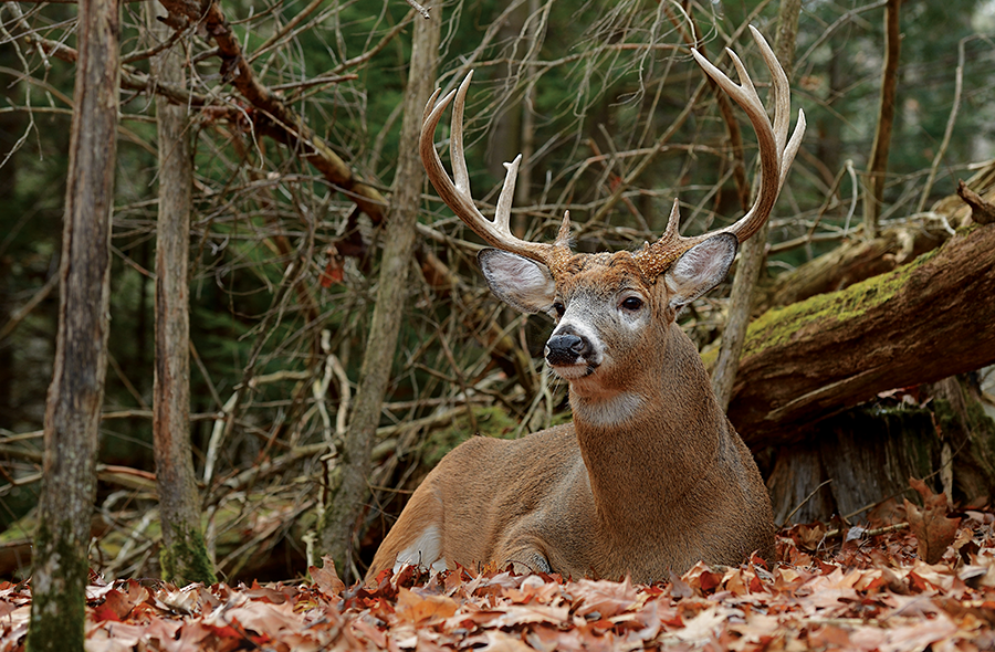 Whitetail Project: Make a Big-Buck Bedding Area