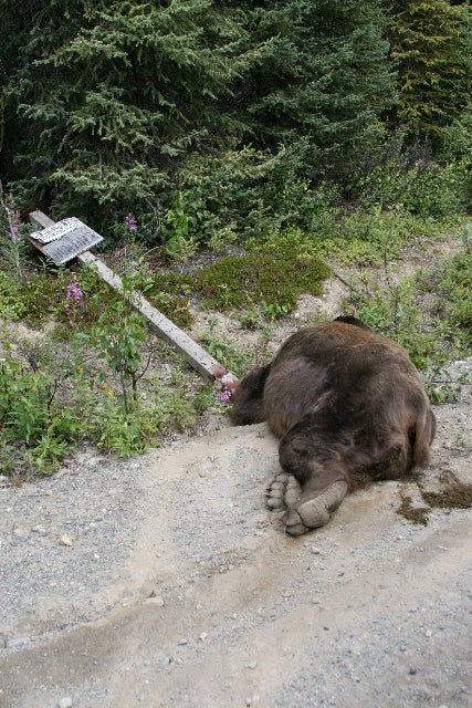 Avoid a grizzly bear charge