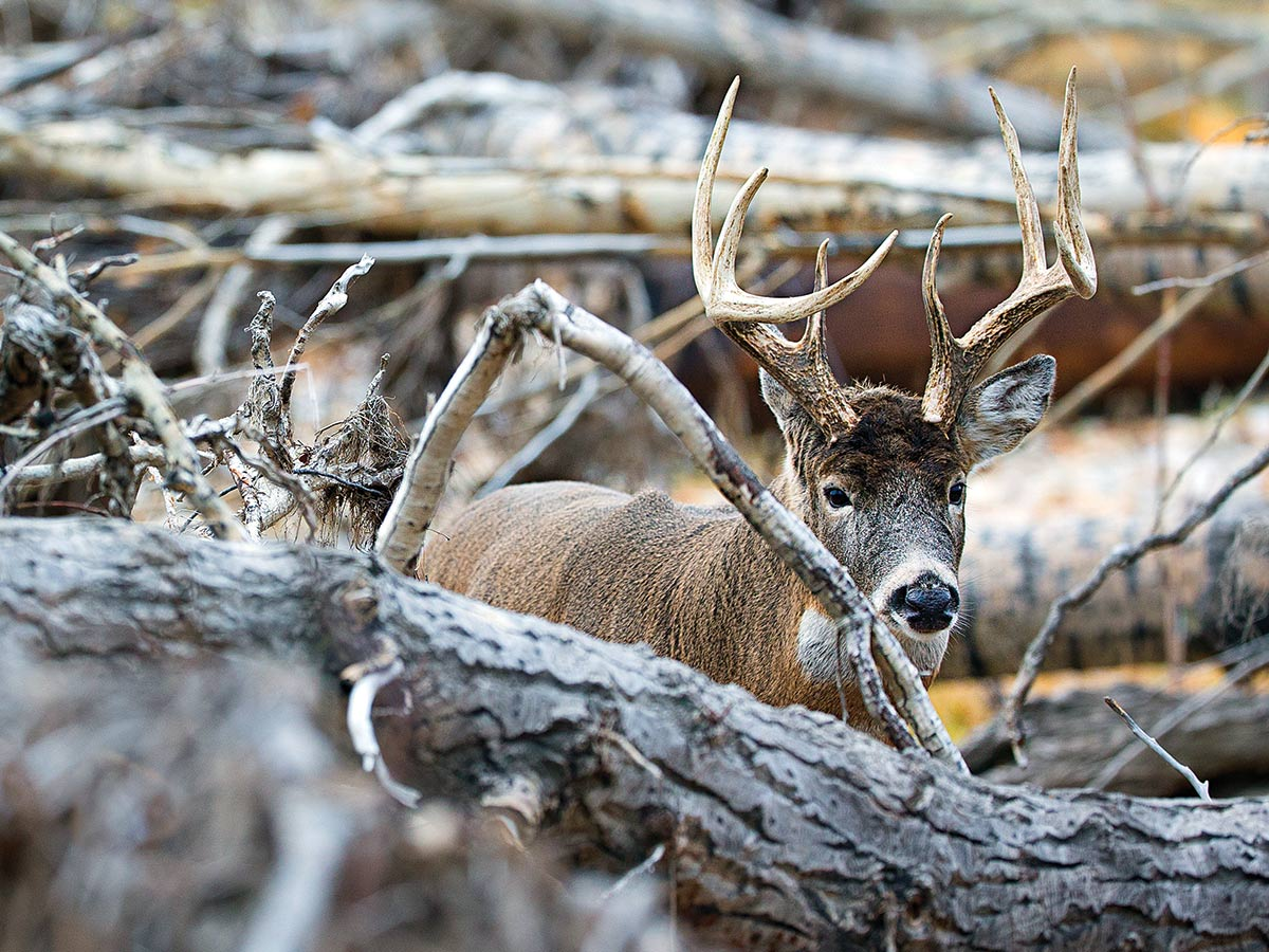 whitetail buck extreme weather