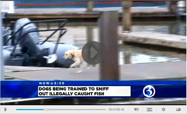 One Striper Over The Limit? This Dog Will Nail You