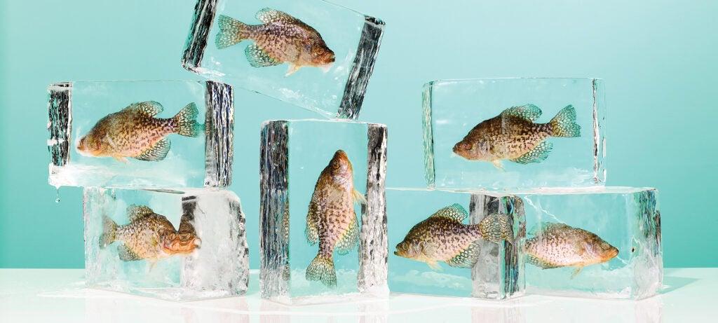 fish in ice blocks