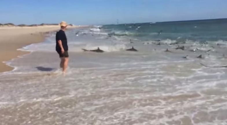 Video: Shark Feeding Frenzy Dangerously Close to Shore