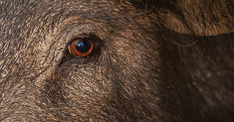 The Pig Report: What Role Do Hunters Play in the Fight Against Feral Swine?