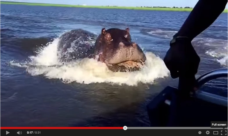 Thank Goodness There Are No Hippos In The U.S.