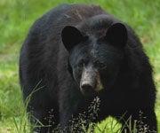 Record Year: Over 4,000 Pennsylvania Bears Taken in 2011