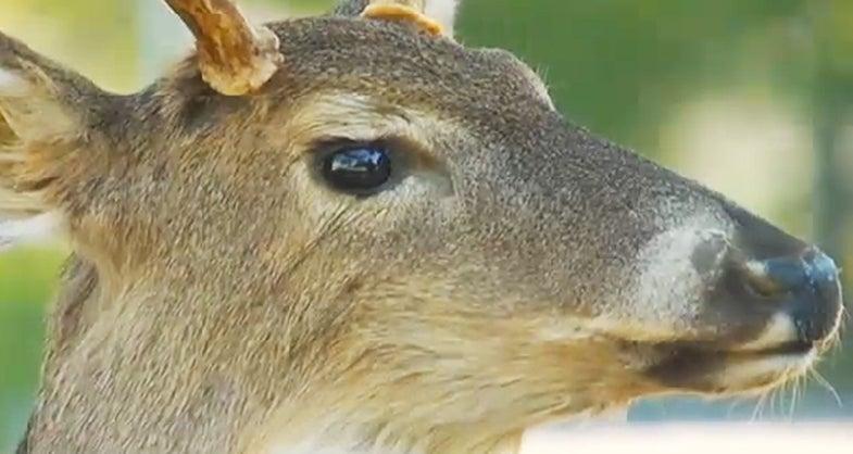 Video: Robot Deer Helps Catch Poachers