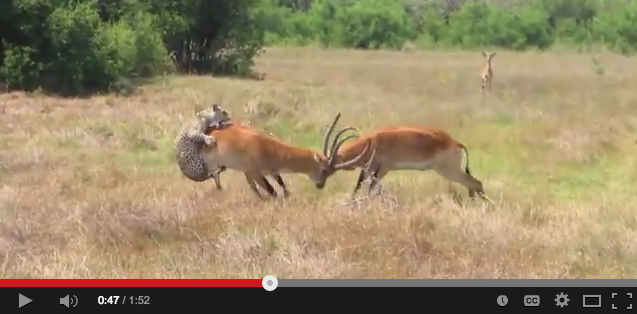 Video: Leopard vs. Fighting Antelope