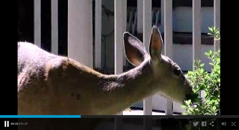Video: Blacktail Deer Overrun Oregon Town