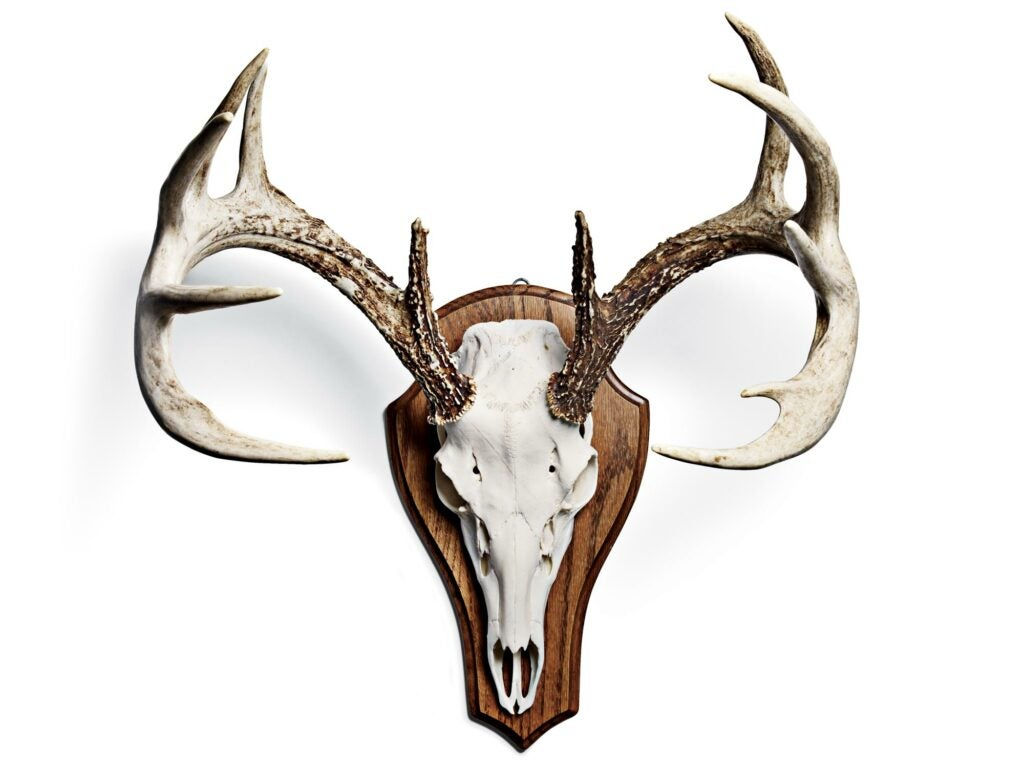 bleaching deer skull, animal skull bleaching