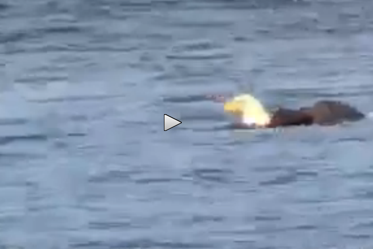 Video: Eagle Swims to Shore with Catch in Its Talons