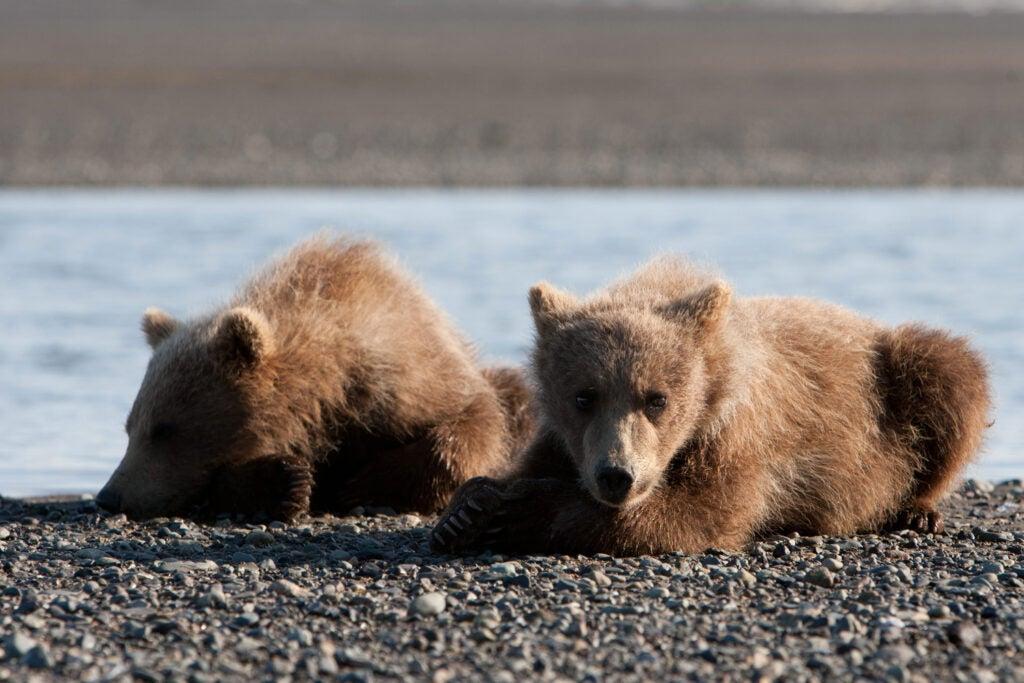 httpswww.fieldandstream.comsitesfieldandstream.comfilesimport2014importImage2011photo38356BARM_BearWars_Alaska_EXCL_001.jpg