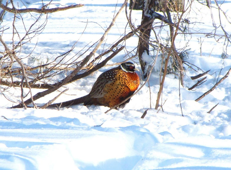 Minnesota, Morris Wedlands Management District, Ringneck Pheasant