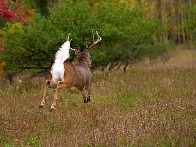 White Tailed Deer Bump and Run