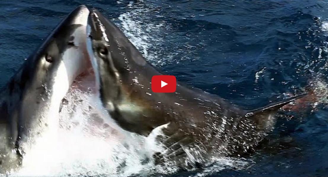 Shark Attack Video: Great White vs. Great White