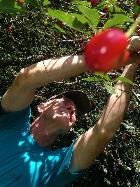 The Short-Lived Sour-Cherry Season