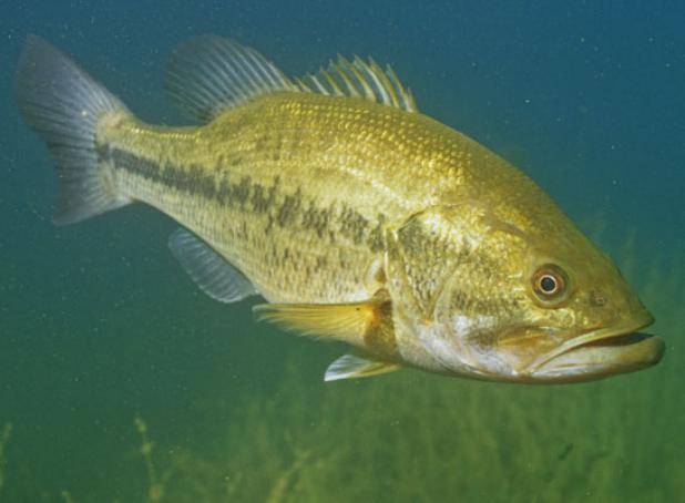 How to Catch Large and Smallmouth Bass During the Spawn