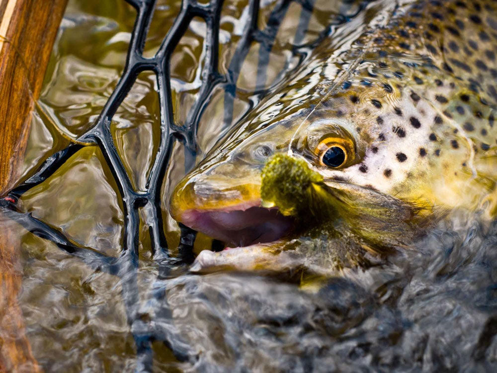 brown trout fishing madison river