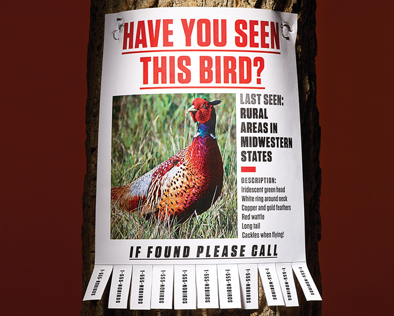 Silent Fields: Where Have All the Pheasants Gone?