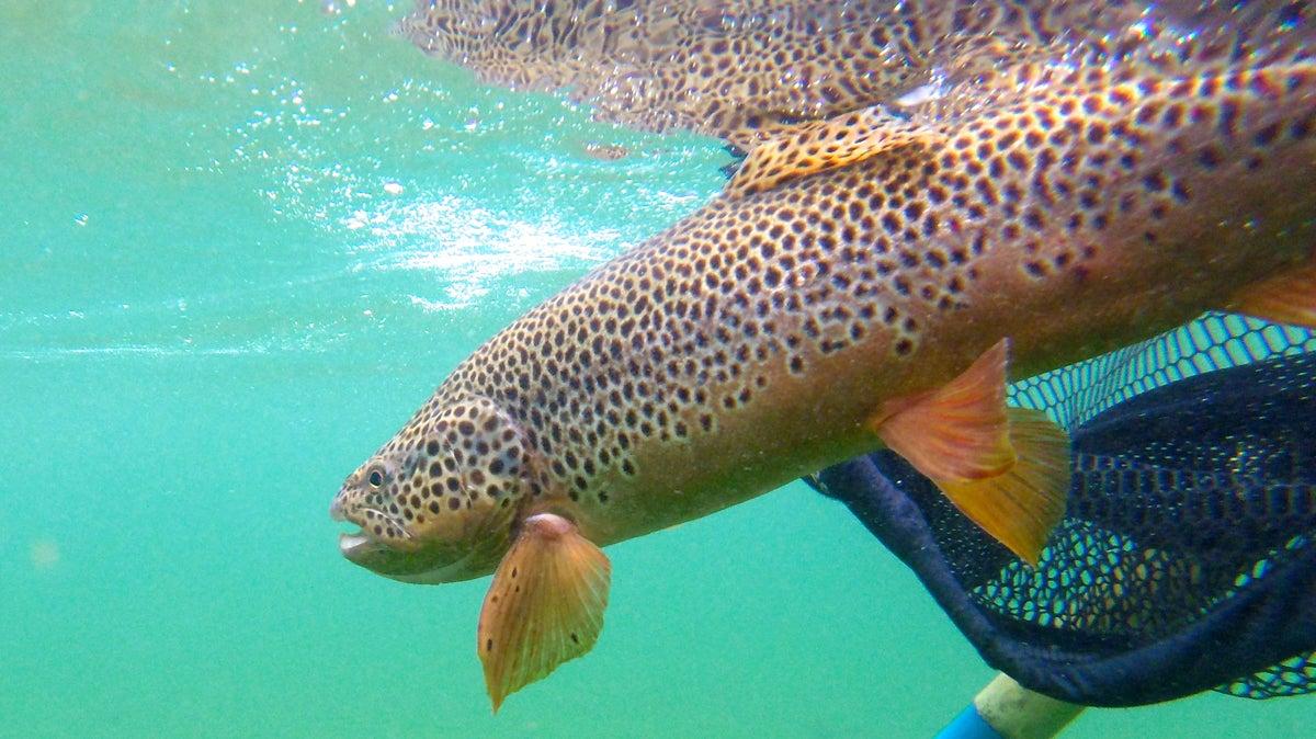 landing trout,
