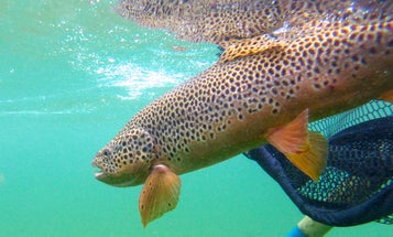 How to Land a Massive Trout in Two Minutes or Less