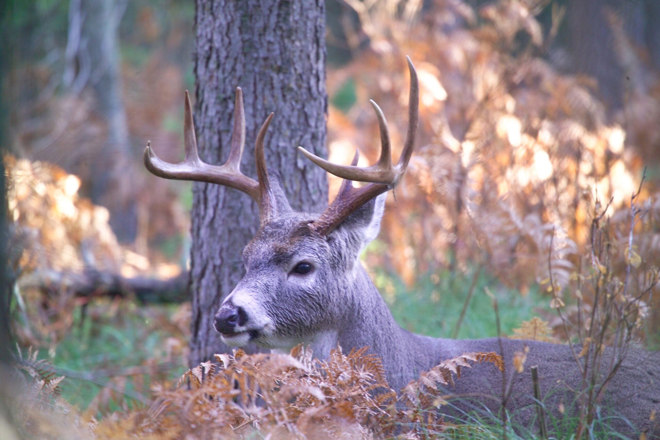 How to Practice Field Scoring Whitetail Bucks