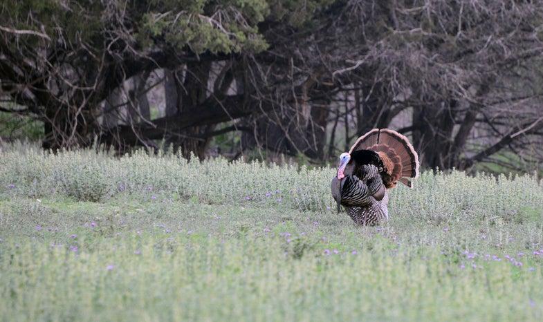 rio grande turkey; texas; buck valley ranch