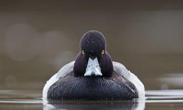 How to Hunt Big Bluebill Flocks on Open Water