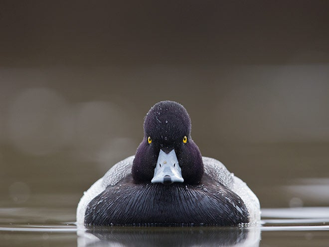 Scaup Blue Bill Duck