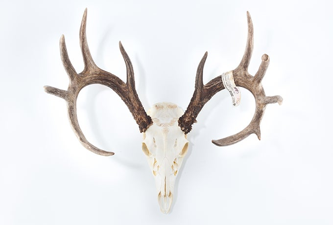 Projects: Do-It-Yourself Skull Mount