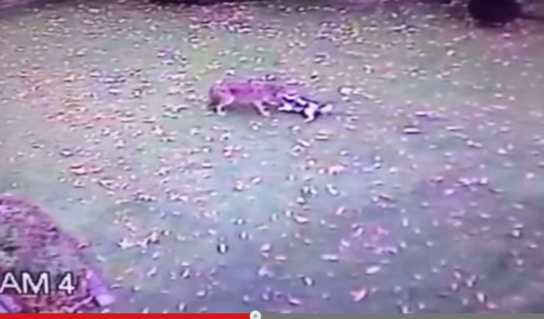 Home Surveillance Cameras Capture Coyote Attack on Family Dog