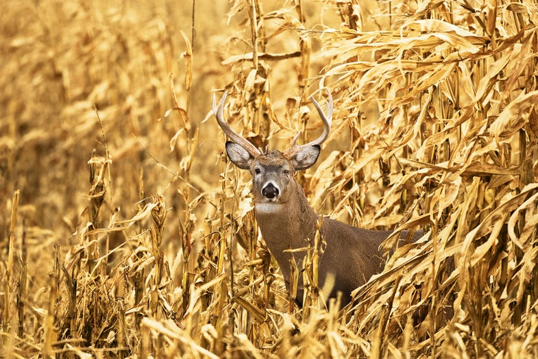Four Tips for Deer Hunting in Standing Corn