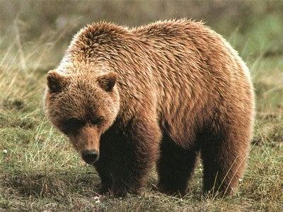 httpswww.fieldandstream.comsitesfieldandstream.comfilesimport2014importBlogPostembedgrizzly_bear3.jpg