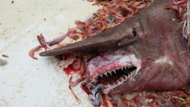 Shrimper Catches Rare Goblin Shark in Gulf of Mexico