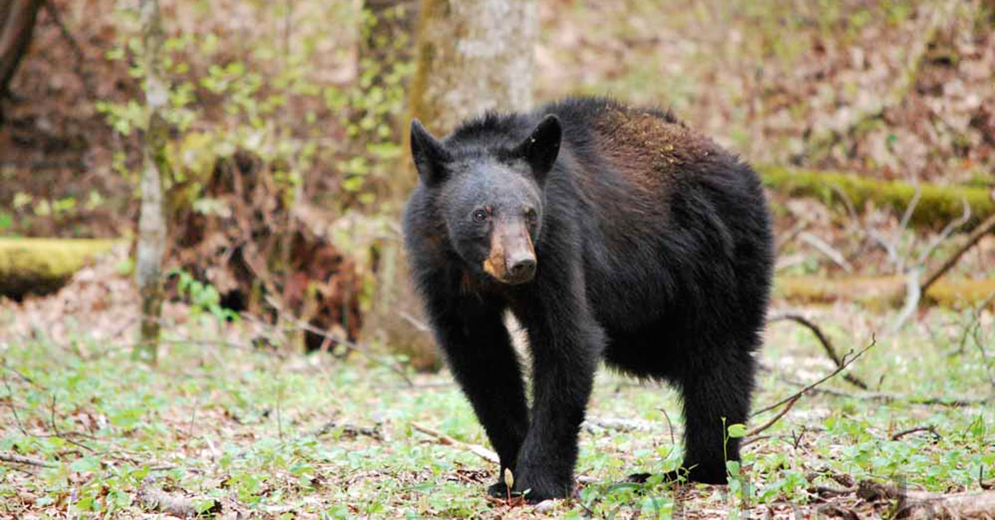 Father Fights Off Attacking Black Bear, Saves Son