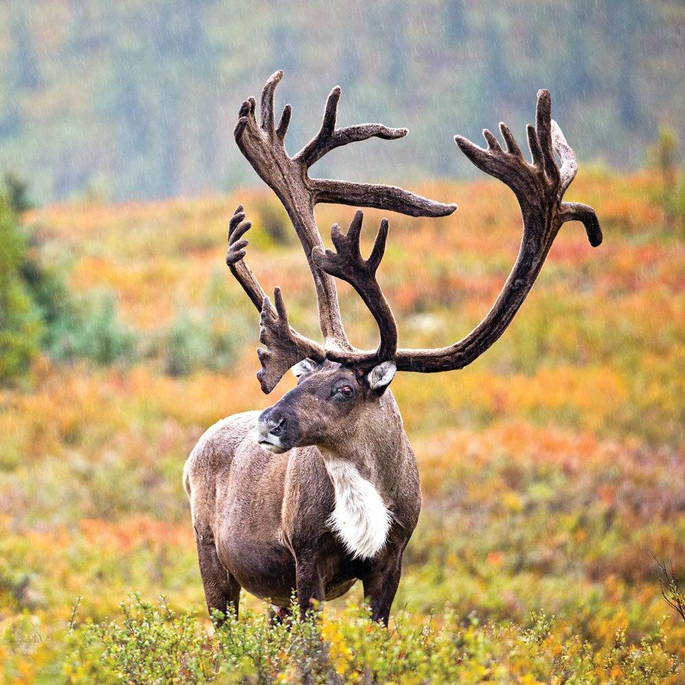 Manitoba Central Barren Ground Caribou