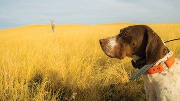 upland bird hunting dogs