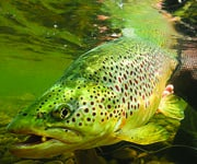 How to Catch Giant Brown Trout During King Salmon Spawn in the Great Lakes