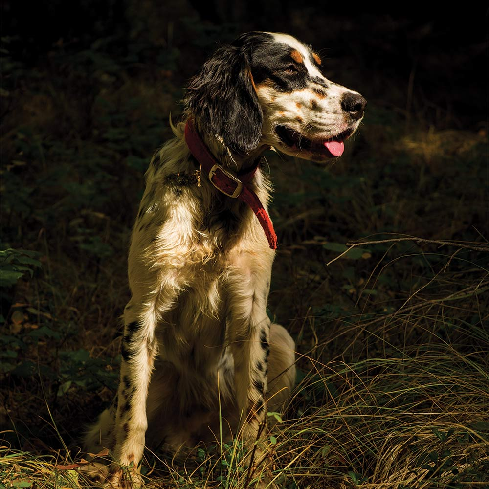 an english setter sitting in the grass