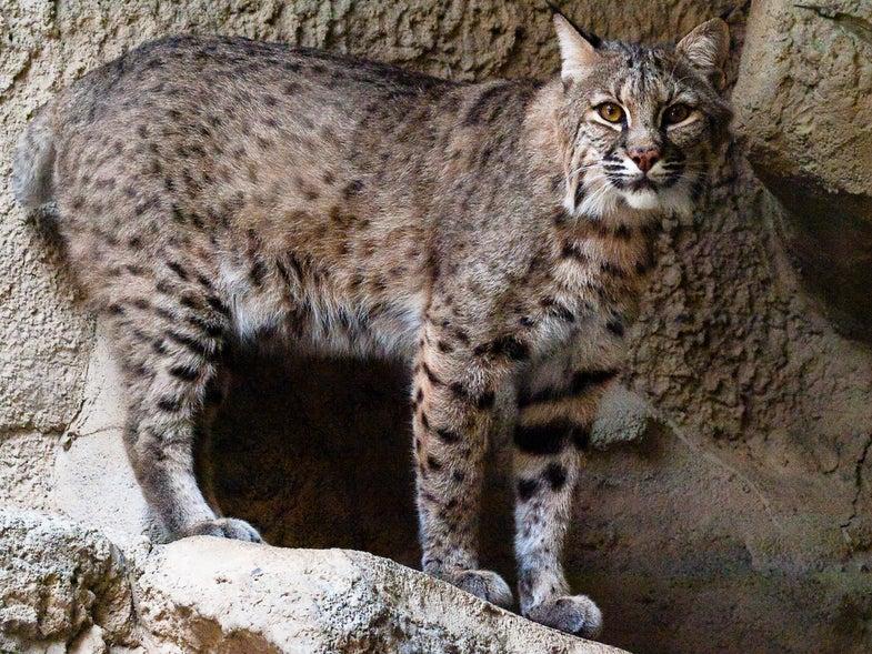 Bobcat Hunting May Return to Illinois