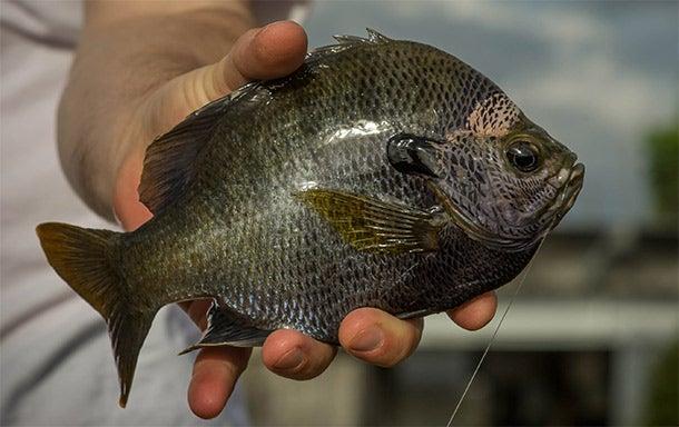 Bluegill Fishing: How to Catch Prespawn Slabs