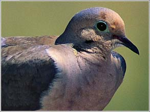 Governor Approves Dove Hunting for 6 Michigan Counties