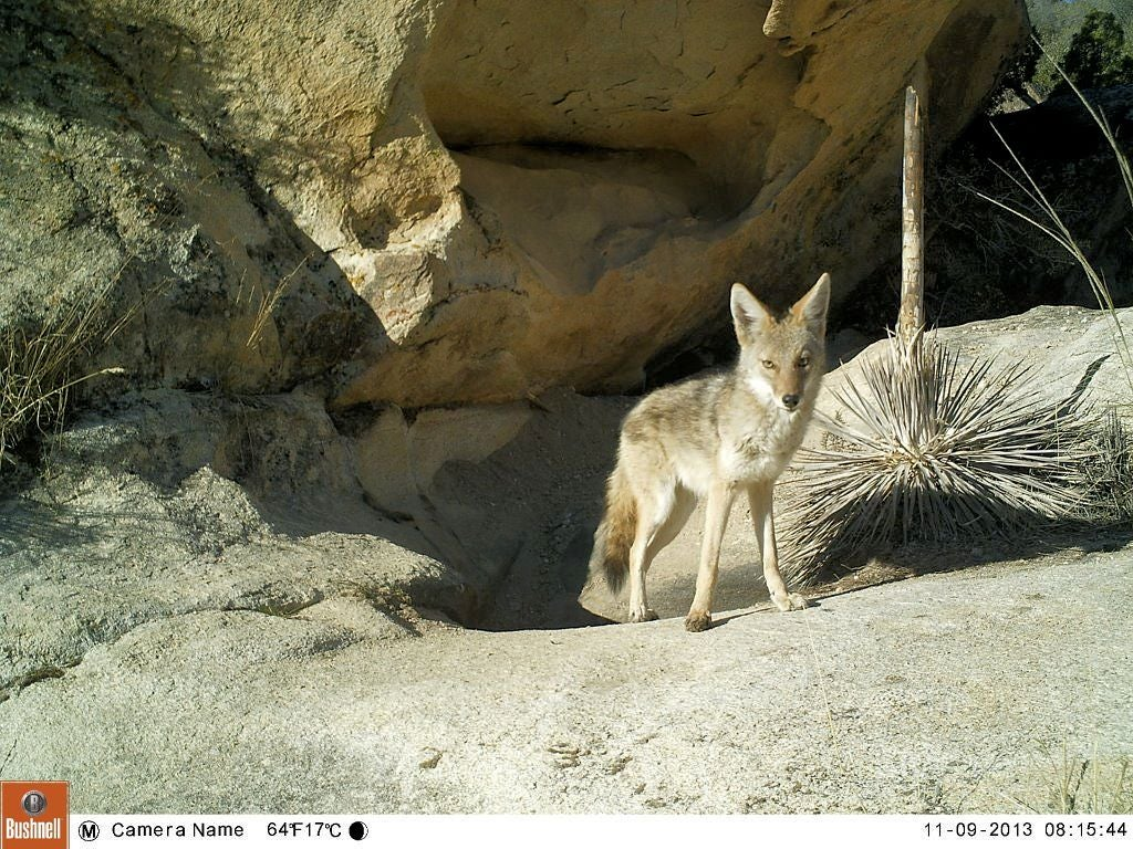 httpswww.fieldandstream.comsitesfieldandstream.comfilesimport2014coyote20at20desert20water20hole.jpg