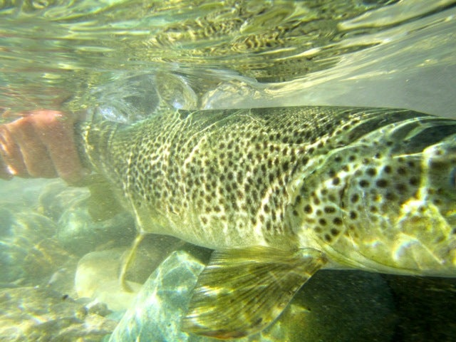 Is Back-to-Belly the Trout Measurement that Matters Most?