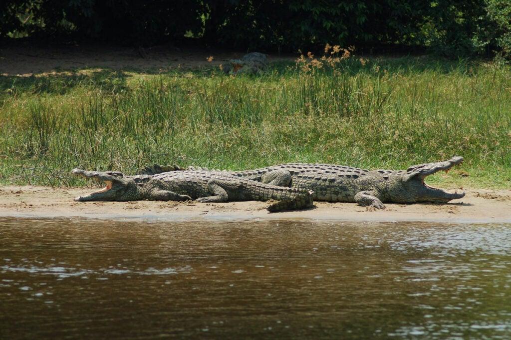 Crocodiles lounging on river banks