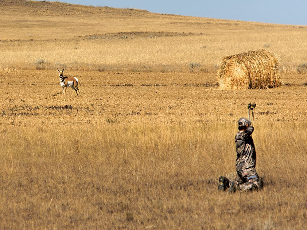 bowhunter aiming at a pronghorn in a field